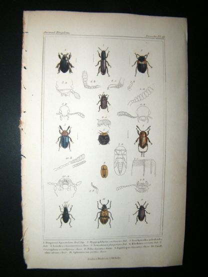 Cuvier C1835 Antique Hand Col Print. Diaperis, Hyppaphloenss, Eledona, 14 Insects | Albion Prints